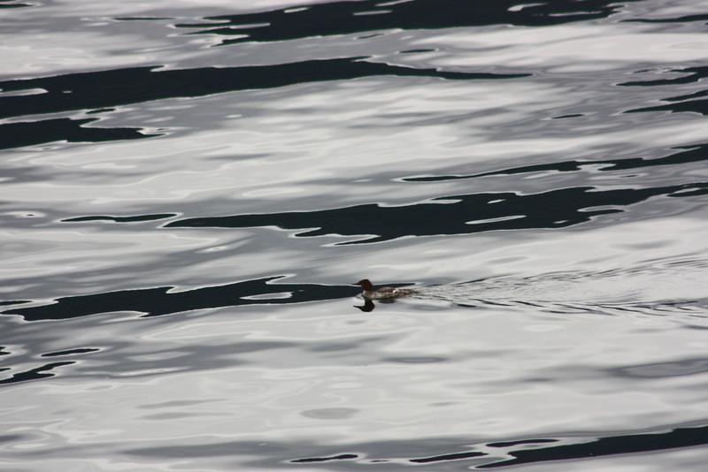 Duck (merganser?), Saltery Bay Ferry Terminal