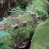 Shelf fungus, Cliff Gilker Park, Roberts Creek, BC