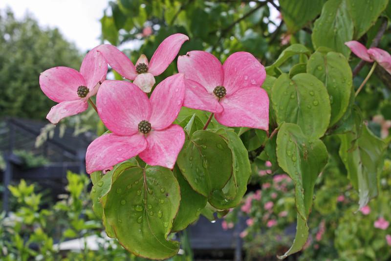 Pink dogwood, Phyllis Bentall Garden