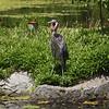 Livingstone Lake, heron - yawning