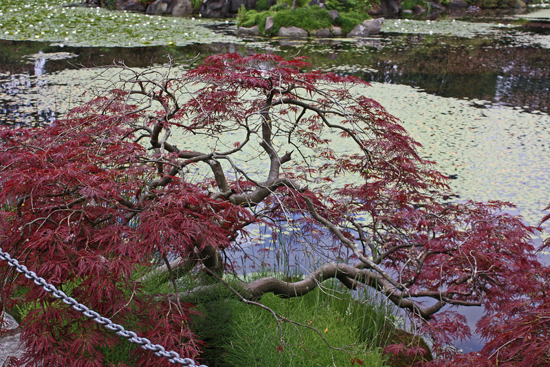 Livingstone Lake - Japanese maple