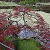 Livingstone Lake - Japanese maple