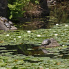 Livingstone Lake, turtles
