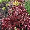 Alum root (Genus houchera)