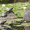 Turtles, Livingstone Lake