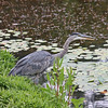 Heron, Livingstone Lake