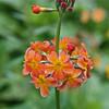 Candelabra primrose