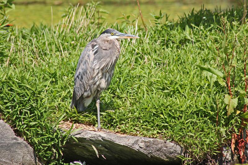 Heron, Livingstone Lake