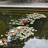 Lily pond, Phyllis Bentall Garden.  Note all the different colors.
