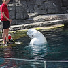 Beluga show, Vancouver Aquarium