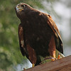 Vancouver Aquarium raptor show, Harris hawk