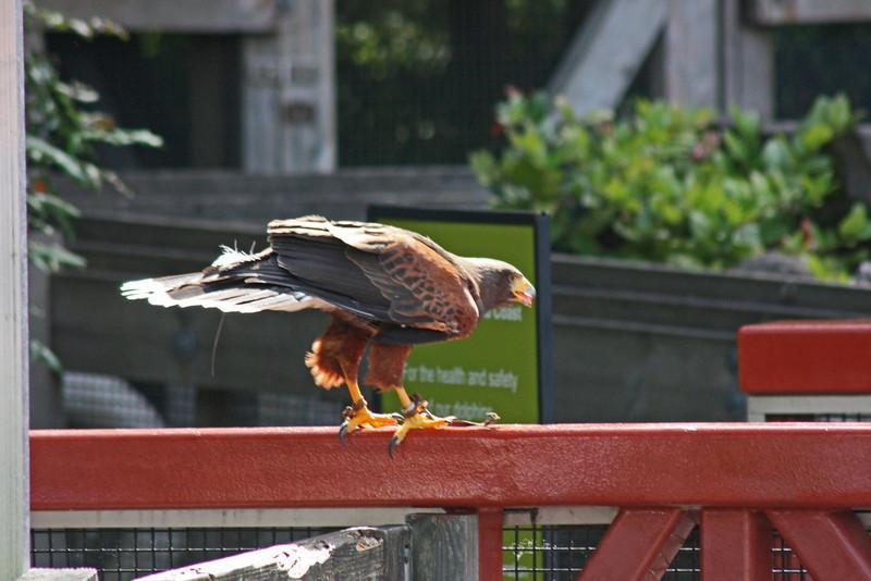 Vancouver Aquarium raptor show, Harris hawk