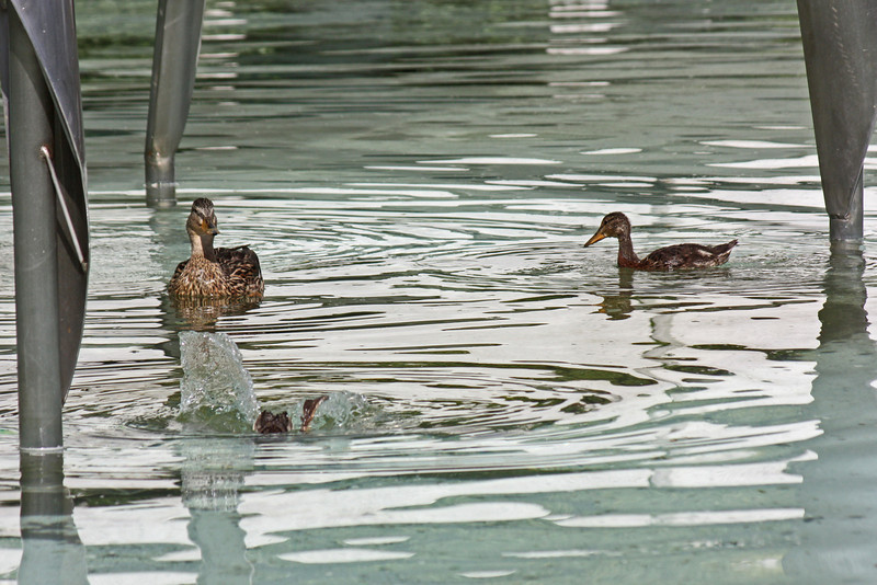 Duck and duckling - Vancouver Science Center fountain
