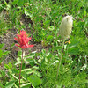 Indian Paintbrush and Mouse on a stick