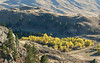 A grove of Cottonwoods in fall colours.  Just east of Osoyoos on Highway #3.