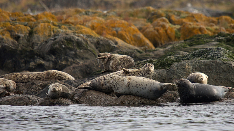Harbour Seals at Trial Islands Ecological Reserve