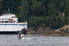 J-Pod Orca with Queen of Nanaimo ferry at Active Pass