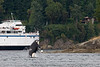 J-Pod Orca with Queen of Nanaimo ferry at Active Pass, B.C.