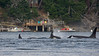 J-Pod Orcas near Active Pass, BC