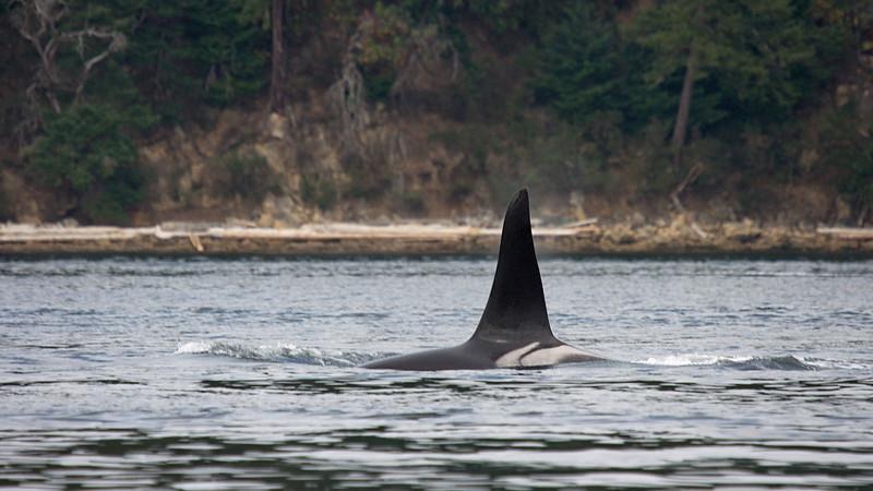 J-Pod Male J27 Male Orca near Active Pass, BC