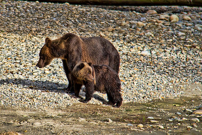 2012 - Grizzly bear and cub, British Columbia