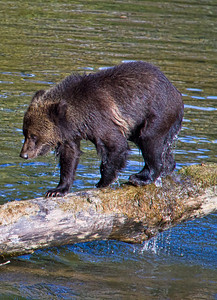 2012 - Grizzly bear cub, British Columbia