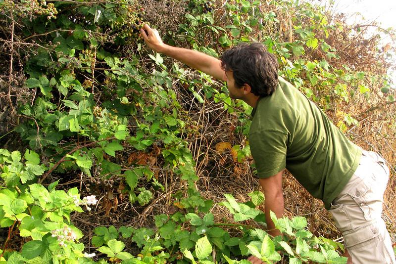 Scott lunges for wild blackberries.
