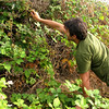 Scott lunges for wild blackberries.
