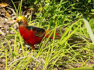 A Golden Pheasant - sounds like a pub in Barnet!