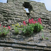 Conwy Castle - flowers growing out of the rock walls