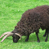 Hebridian sheep. The males can have two, four or even eight horns.