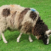 Jacob sheep. A very rare breed. They are black and white and vary from being two- to four-horned.