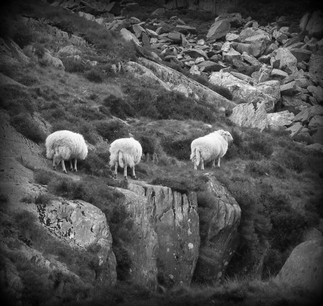 Sheep everywhere you look - eating, sleeping, and doing everything else