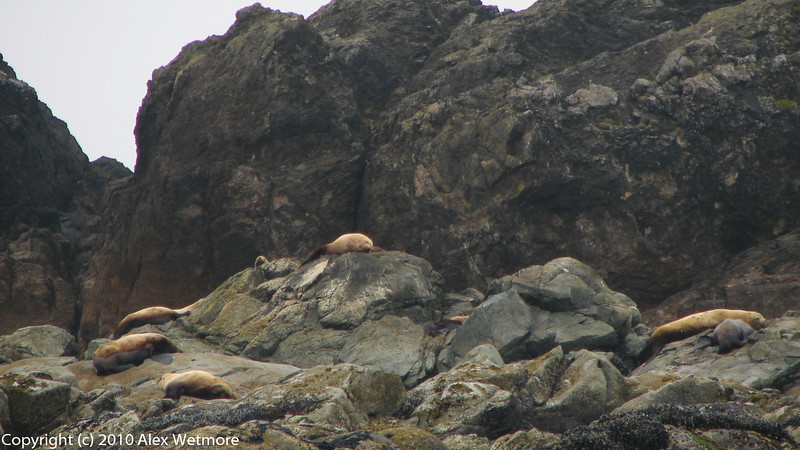 Stellar Sea Lions, hauled out