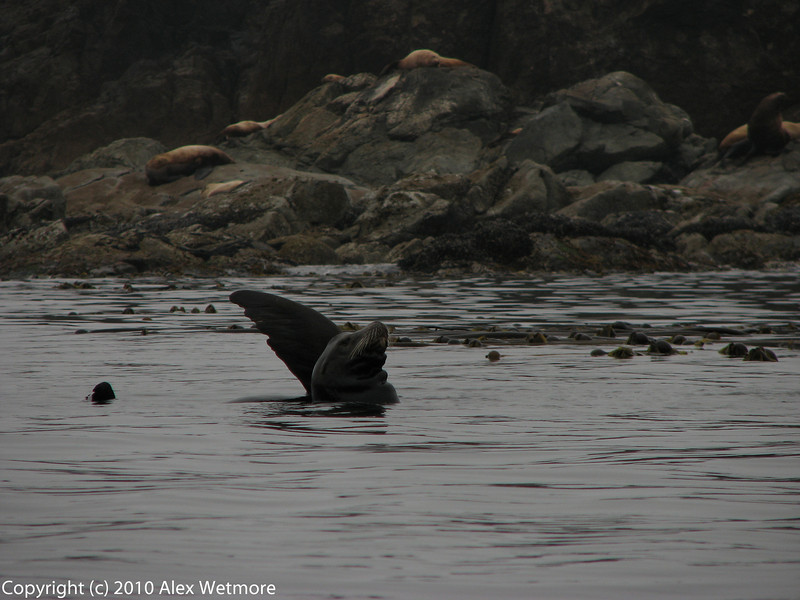 California Sea Lion.  We couldn't figure out why the one in the background had his flipper out.  Was he hurt?