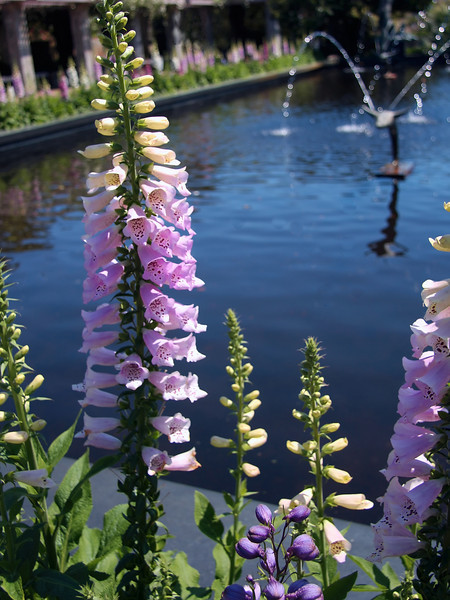 Foxglove at the Muses Garden
