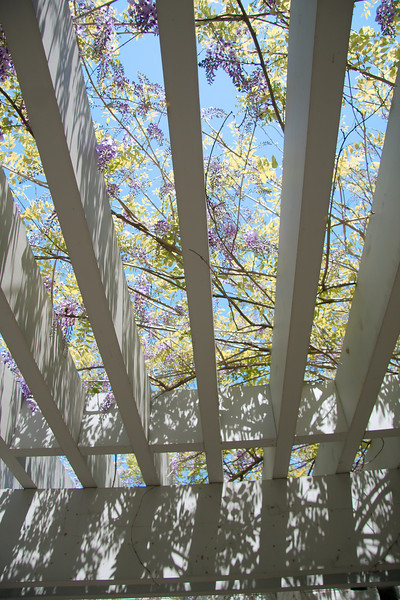 Pergola with blooming wisteria