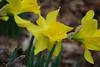 Daffodils-- so cute