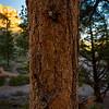 Bryce Canyon Pine detail