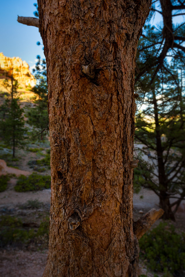 Bryce Canyon Pine detail
