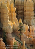 Pondorosa Pine Tree, Bryce Canyon National Park, Utah, USA, North America