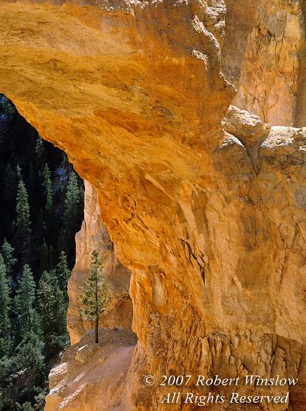 Ponderosa Pine Tree seen Through an Arch, Bryce Canyon National Park, Utah, USA, North America