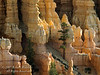 Ponderosa Pine Tree, Bryce Canyon National Park, Utah, USA, North America