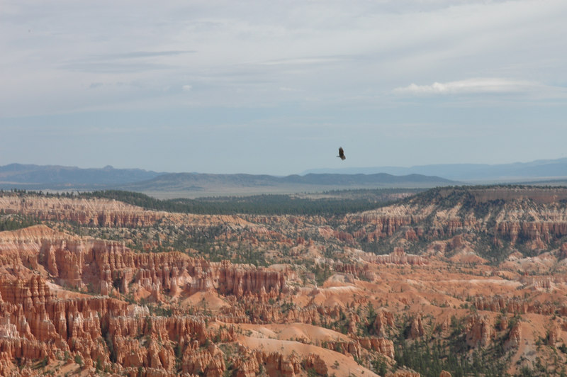 Bryce Canyon National Park<br /> Rim Trail<br /> Eagle flying above the canyon