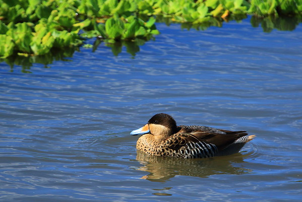 Silver Teal