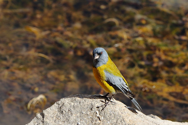 Hooded Sierra Finch