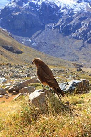Mountain Caracara - Juvenile