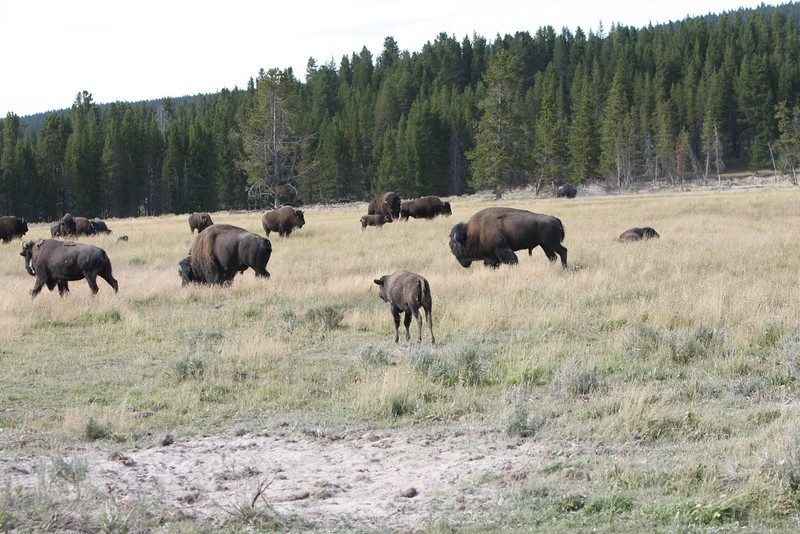 Just a few of the real buffalo roamimg Yellowstone National Park.