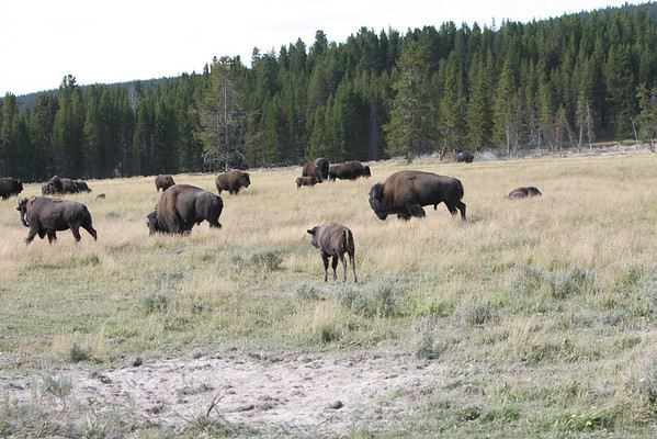 Buffalo of West Yellowstone
