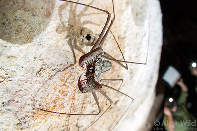Tailless whipscorpions may look fierce, but these predatory arachnids are harmless and quite charming in person. We'll see them hunting along the cave walls during our underground expedition.